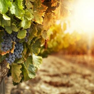 Vineyards,At,Sunset,In,Autumn,Harvest.,Ripe,Grapes,In,Fall.
